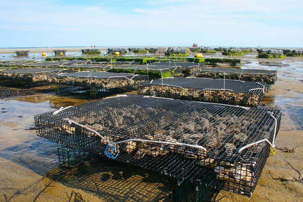 farm, oysters